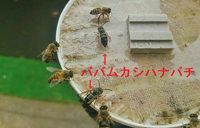 ババムカシハナバチ